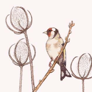 goldfinch greetings card by Fay's Studio shows a goldfinch with red face markings sitting in teasels