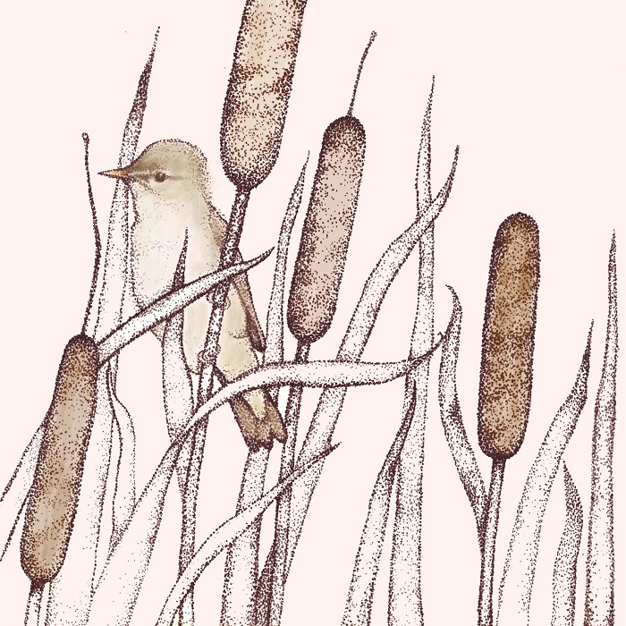 reed warbler greetings card by fay's studio showing a bird facing left sitting in bull rushes
