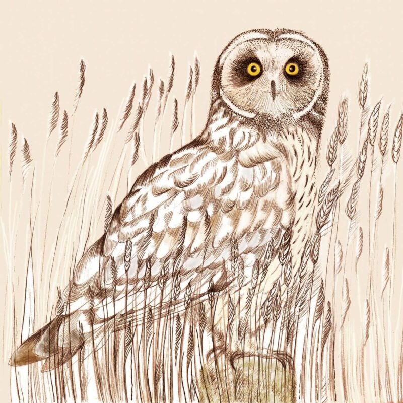 Short Eared Owl Print by Fay's Studio