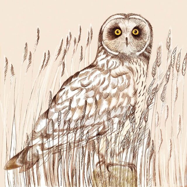 short-eared owl greetings card by Fay's Studio shows the owl facing forwards in grasses